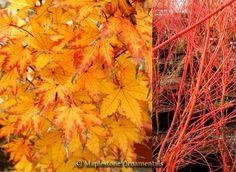 Acer palmatum 'Sango Kaku' (Coral Bark Maple) Zone 5-8 15-20ft tall 15-20ft wide