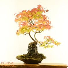 ヤマモミジの石付盆栽Japanese maple, Yama-momiji, bonsai on a rock2015.10.24 撮影bonsai on the rock @BASEbonsai on the rock @Zazzle