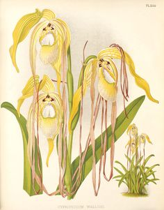 Phragmipedium warszewiczianum111 - R. Warner & B.S. Williams - The Orchid Album - Wikimedia Commons