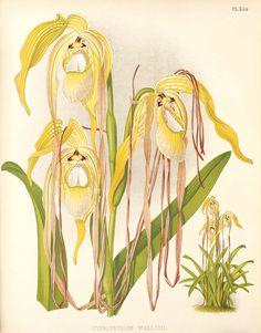 Phragmipedium warszewiczianum111 - R. Warner & B.S. Williams - The Orchid Album - Wikimedia Commons
