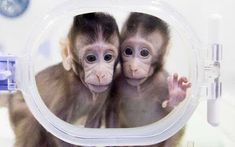 Chinese scientists have cloned monkeys using the same technique that produced Dolly the sheep two decades ago, breaking a technical barri. Break Key, Two Decades, Communication Skills, Issa, Laughter, News, Monkeys, Scientists, Entertainment Gist