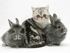 Blue-Silver Exotic Shorthair Kitten with Baby Silver Lionhead Rabbits Poster by Jane Burton from AllPosters.com - $19.99