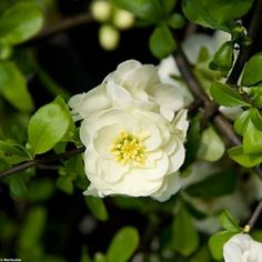 Cognassier du Japon Yukigoten - Chaenomeles speciosa Chaenomeles, Plantation, Rose, Flowers, Gardens, Hydrangeas, Shrub, Green Garden, White Flowers