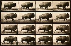 Buffalo Running print