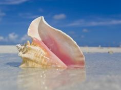 Queen conch shell in shallow water on a sandbar in the Florida Keys. Key Largo Florida, Florida Keys, Visit Florida, Florida Living, Miami Florida, Florida Beaches, I Love The Beach, All Nature, Ocean Life