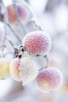 frost on an apple tree