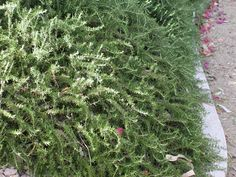 Fragrant & Evergreen Trailing Rosemary is a favorite in my garden Florida Landscaping, Florida Gardening, Home Landscaping, Front Yard Landscaping, Beach Gardens, Outdoor Gardens, Florida Plants, Full Sun Plants, Ground Cover Plants