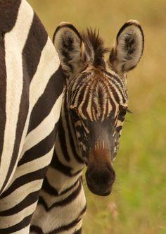 Baby Zebra, Governors Camp Masai Mara