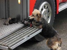 UNE MÈRE HÉROÏQUE. Lors d'un incendie, une chienne a risqué sa vie pour sauver ses 6 chiots en faisant des aller-retour dans la fumée et le feu pour les mettre en sécurité dans l'endroit le plus sûr qu'elle ait pu trouver : un camion de pompiers ! Personne n'a pu l'arrêter... les pompiers ont essayé de garder un jet d'eau sur elle. Après les avoir tous sauvés, elle s'assit à côté d'eux en les protégeant de son corps. Un chiot est traité pour de graves brûlures mais toute la famille est sauve…