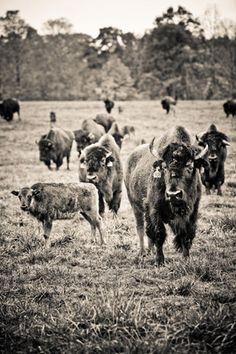Garden&Gun, bison photography