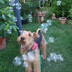 A darling Airedale chasing bubbles