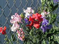 sweet peas--The house is fully enclosed by a chain link fence.  I want to replace that one day, but probaby can cover it with sweet peas for now?