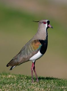The Southern Lapwing (Vanellus chilensis) is a wader in the order Charadriiformes. It is a common and widespread resident throughout South America, except in densely forested regions (e.g. most of the Amazon), the higher parts of the Andes and the arid coast of a large part of western South America. This bird is particularly common in the basin of the Rio de la Plata. It has also been spreading through Central America in recent years.