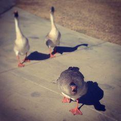 Noisy neighbors!  #grapevine #travel #rv #rving #rvlife #geese