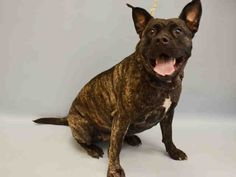 PULLED BY ALL BREED RESCUE VERMONT - 07/31/15 - TO BE DESTROYED  07/30/15 - KENYA - #A1044756 - Urgent Manhattan - FEMALE Y BRINDLE PRESA CANARIO MIX, 1 Yr - OWNER SUR - EVALUATE, NO HOLD Reason PERS PROB Intake Date 07/20/15