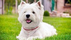 West Highland White Terrier: Las 5 principales características sobre los perros Westy #Westie