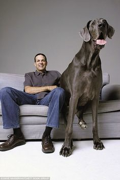 World's largest dog according to Guinness book of world records. Great Dane