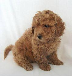 Miniature Goldendoodle (Golden Retriever-Poodle mix) Info, Pictures