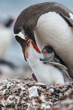 Gentoo penguin adult feeds chick, Port Lockroy, western Antarctic Peninsula.
