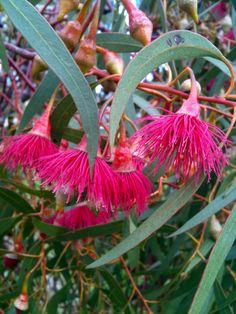 Eucalyptus in flower at Royal Park, Melbourne