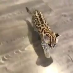 They shouldn't be kept inside Bc they're wild animals but still, super cute vid! Cute Funny Animals, Cute Baby Animals, Cute Cats, Nature Animals, Animals And Pets, Wild Animals, Beautiful Cats, Animals Beautiful, Cute Creatures