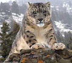 If I Was An Animal, I Would Be A Snow Leopard