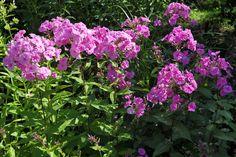 "Phlox amplifolia Breitblatt-Phlox ""Winnetou"""