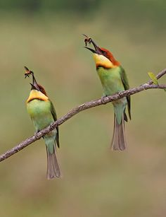 Chestnut-headed bee-eaters; Synchronized bee tossing