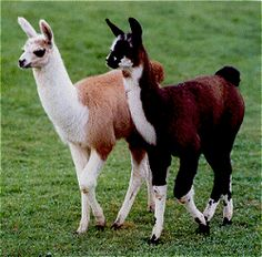 Baby Llama! Best friends dawwww @Jessica Sotier Yeager Nelson look us as baby llamas! ;)