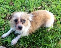 Willie Terrier  Chihuahua Mix • Young • Male • Small Buster's Friends Houston, TX