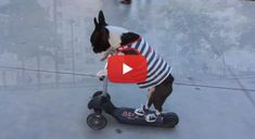 Stylish Boston Terrier dogs Scootering in Converse Sneakers! Watch! ► http://www.bterrier.com/?p=25953