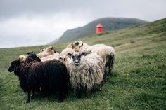 Faroe sheep.jpg