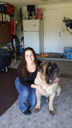 Tazio, giant English Mastiff