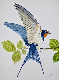 Barn swallow in watercolour. Painted by:- A.Wiggins.