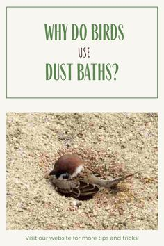 If you have ever seen a bird take a dust bath, you may wonder what are they doing and why? Here provide a detailed explanation of the behavior known as dust bathing. After you learn what it is, we'll help you in creating a DIY dust bath for your backyard garden. If you are into taking photographs of birds, you'll find that capturing an image of a bird dust bathing can be very rewarding. #BirdWatching #BirdBaths #Garden #Birds #DIY #Backyard Why Do Birds, Garden Birds, Bird Baths, Birdwatching, Wild Birds, Behavior, Bathing, Photographs, Backyard