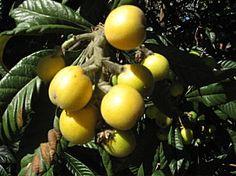 tree of marula Exotic Fruit, Fruit Trees, Bio, Plum, Seeds, Vegetables, Healthy, Image, South Africa