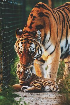 Tiger and baby.