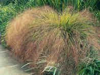 Anemanthele grass is a feathery cascading grass that is very light and weightless, with reddish tones from mid summer on. In late summer the seedheads fluff out for a decorative look.