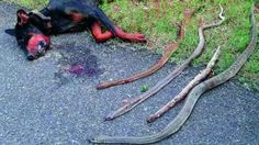 Dog dies fighting four cobras to protect family