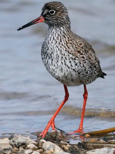 Kızılbacak - Tringa totanus - Common Redshank