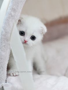 White Scottish Fold Kitten <3
