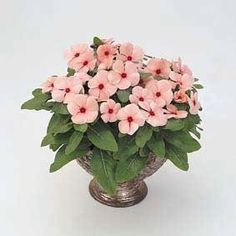 Pase Seeds - Vinca Cooler Apricot Annual Seeds, $3.29 (http://www.paseseeds.com/vinca-cooler-apricot-annual-seeds/)