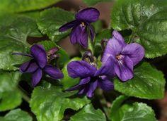 Viola odorata 'Elizabeth Lee'