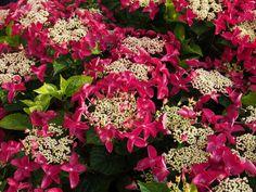 Hydrangea 'Lady in Red'  Halfschaduw, bloei juli t/m september, Hoogte 100cm, snoeien niet noodzakelijk, mag evt. direct na de bloei.