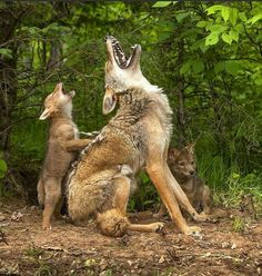 Coyote pups first howling lesson. Cute animal pictures of the day. Nature Animals, Animals And Pets, Wildlife Nature, Animals Photos, Nature Nature, Wild Animals, Beautiful Creatures, Animals Beautiful, Animals Amazing