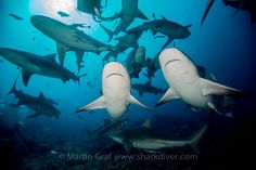 Sharks anyone?  The shark dive in Beqa Lagoon does not disappoint!