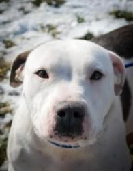 Lady is an adoptable Pit Bull Terrier Dog in Dublin, VA. *Although we try to be as accurate as possible, Pulaski County Animal Shelter cannot guarantee the breed or full-grown adult size of any of the...