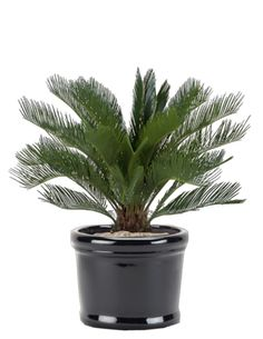 Cycas revoluta has feather-like, approximately 50 cm long leaves. They're rather hard. It likes light, but doesn't stand direct sunlight. In low light there will be no new leaf growth. Allow to dry in between waterings. May grow up to 300 cm. Tropical Plants, Cactus Plants, Garden Plants, Palm Garden, Sago Palm, Backyard Paradise, Ornamental Plants, Plant Care, Houseplants
