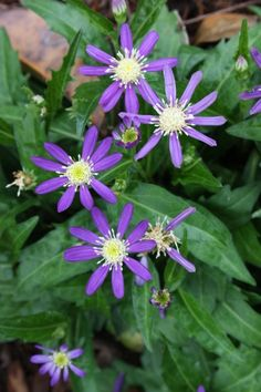 False Aster for sale buy Kalimeris incisa 'Edo Murasaki'