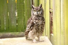 A Spotted Eagle Owl, one of the current patients at the Wildlife Rehabilitation centre in KwaZulu-Natal, South Africa
